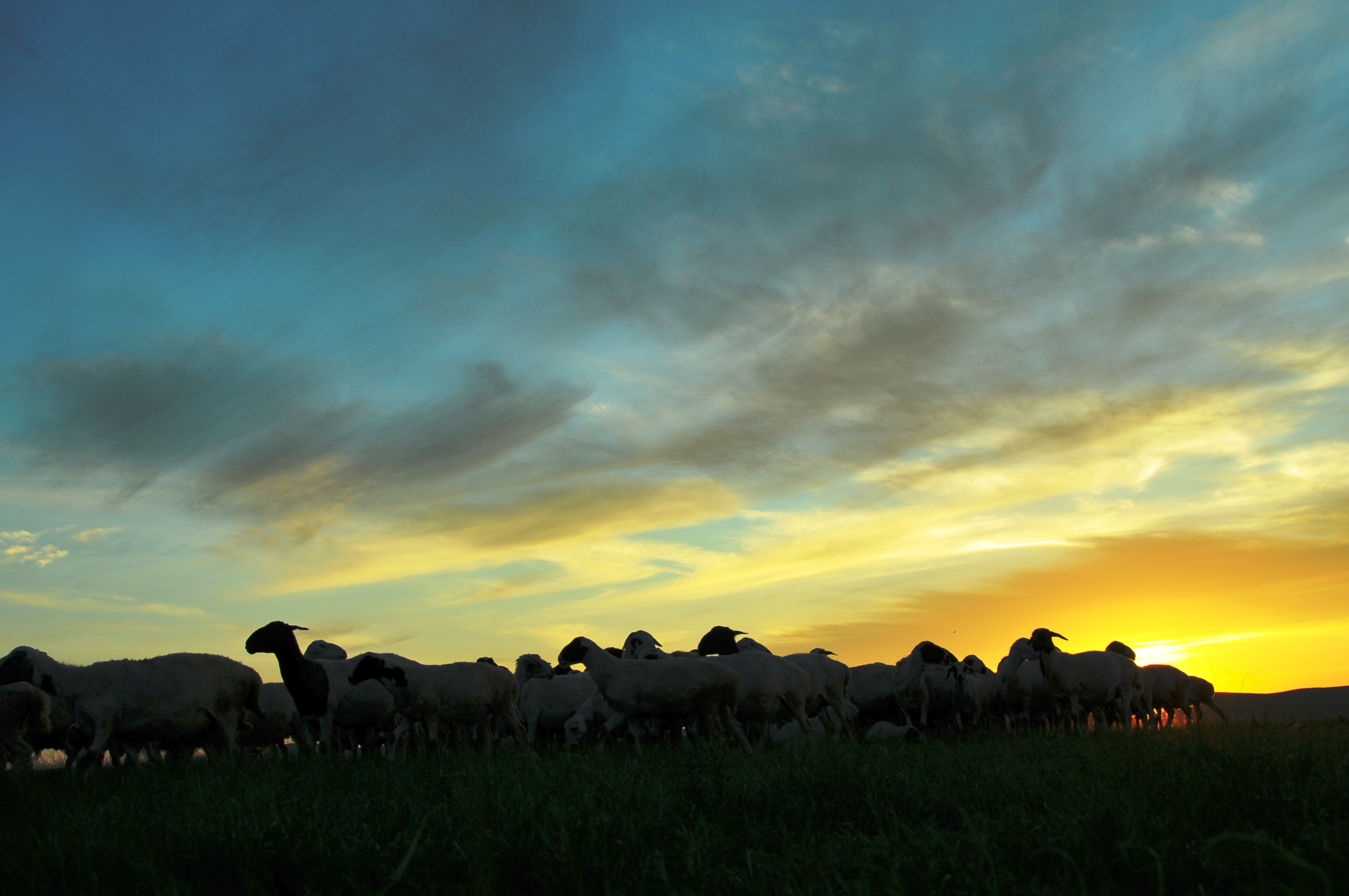 在一处蒙古包看到了夕阳下牧归的牛羊和骆驼.还有牧羊犬.