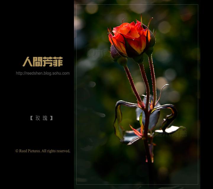 苹果手机黑色玫瑰壁纸
