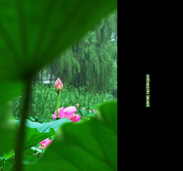 """""""水陆草木之花,可爱者甚蕃.予独爱莲之出淤泥而不染,濯清涟"""