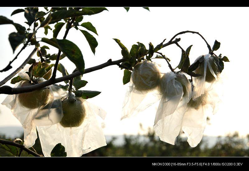 苹果树叶子干枯