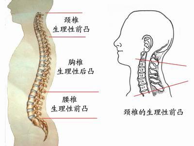 人体正常血压_人体在卧床时保持颈椎正常的生理性前凸,才符合颈椎的生理要求;这样可