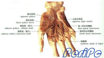 手与鼠标人体工学关系和人种详解