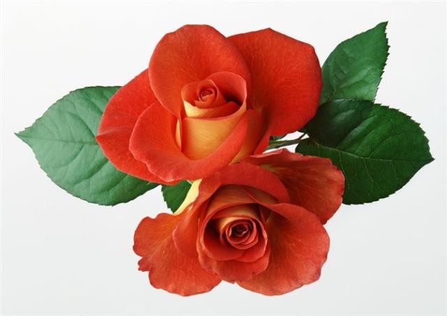 评论(0)              告别08迎接09            郁金香,玫瑰花,海棠