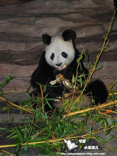 壁纸 大熊猫 动物 500_667 竖版 竖屏 手机