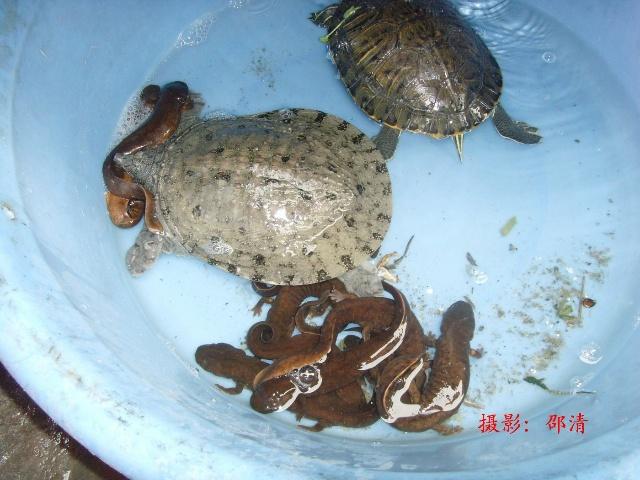 国家级野生保护动物——娃娃鱼成为凤凰古城的招牌菜