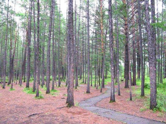 公园内茂密的松树林
