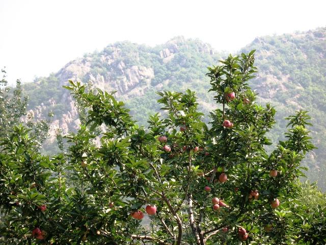 元氏县前仙乡牛家庄附近,去参观了长在那里的一棵1400多岁高龄的白果